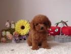 南京犬舍实体店出售 泰迪熊幼犬 质保三个月送用品签协议
