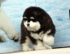 自家大狗生了一窝阿拉斯加可以上门看狗父母