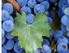 供应 新鲜蓝莓