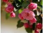 8公分冬红海棠苗/8公分冬红海棠盆景精品