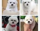 郑州千羽犬舍出售比熊幼犬 郑州哪里可以买到比熊 比熊 多少钱