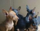 优惠一半——小鹿犬现在出售给喜欢的朋友拉 快3个月了