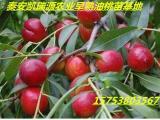 桃树苗-哪里有卖桃树苗