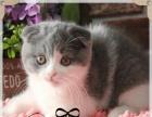 2折耳猫幼猫纯种 折耳猫家养折耳猫宠物苏格兰折耳猫