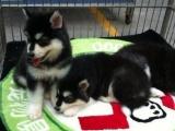 純種阿拉斯加幼犬 包健康好養.購買簽協議.疫苗齊