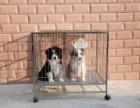 宠物店里的边境牧羊犬可以买吗 健不健康