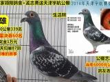 17年银水寄养棚 北京马平 北京双巨 开尔公棚 名家成绩鸽多