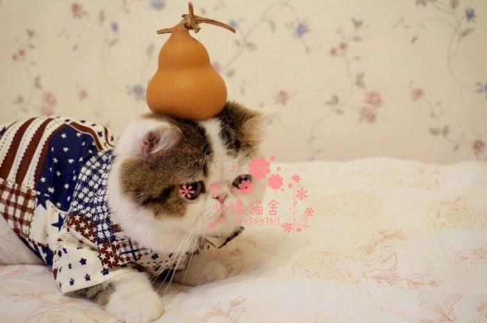 兰州哪里的加菲猫比较便宜健康 兰州什么地方可以买到加菲猫