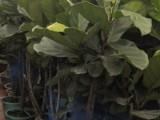 绿化养护绿植盆栽租赁出售草坪清理修剪除草吹落叶