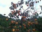 庭园厂房绿化品种,各种挂果果树,品种齐全