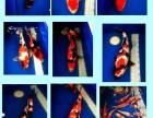 新到各种规格和级别的锦鲤鱼