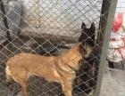 扬州马犬养殖基地出售 马犬 德国牧羊犬 罗威纳犬