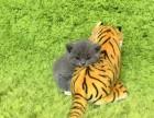 周末特价 蓝猫 虎斑布偶等 保活包纯种