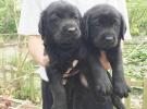 重慶狗狗之家長期出售高品質 拉布拉多 售后無憂