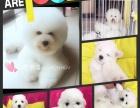 ta宠 宠物 /双血统比熊幼犬出售/种公借配/美容/洗澡/寄