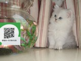 烟台哪里卖金吉拉 烟台哪里有宠物店 烟台哪里卖宠物猫便宜