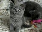 正规猫舍出售纯种英短蓝猫