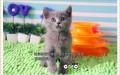 猫舍出售蓝猫幼崽-多只可选-疫苗齐全-保健康