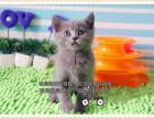 蓝猫宝宝三个半月活泼健康可上门挑选