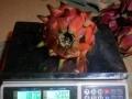 出售红肉火龙果苗(免人工授粉品种)