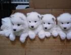精品萨摩耶 包成活 100%健康 个人养殖便宜出售多种宠物狗
