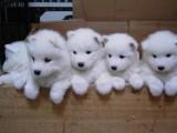 精品萨摩耶 包成活 100%健康 大型繁殖场出售多种宠物狗