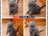 北京蓝猫幼猫 金吉拉幼猫 布偶 银渐层 暹罗猫(包纯种健康)