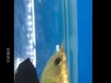 各种金龙,印尼虎鱼