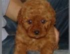 品质由我保证 价格由您对比 打造高品质泰迪幼犬