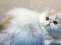 专业繁育精品加菲猫 保健康 可优惠