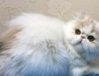 出售纯种家养加菲猫 美短加白 英国短毛猫蓝猫金吉拉