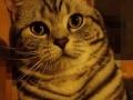 美短银虎斑猫可借配