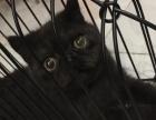 出售黑猫警长加菲猫弟弟