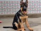 三亚纯种德国牧羊犬价格 三亚哪里能买到纯种德国牧羊犬