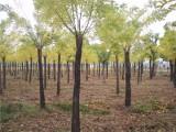 丽水20公分国槐树基地自产自销