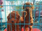 出售泰迪犬小体
