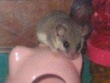 自家养西班牙小睡鼠