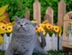 出售纯种家养蓝白英短猫 疫苗齐包健康 全国包邮