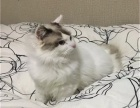猫舍出售自家繁殖布偶猫纯种健康可上门挑选全国发货