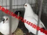 南阳肉鸽种鸽一对多少钱、种鸽养殖场