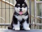 东莞纯种阿拉斯加价格 东莞哪里能买到纯种阿拉斯加犬