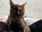 可爱美女猫猫出售