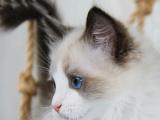 江苏苏州纯种仙女猫多少钱能买