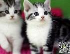 最棒的短毛猫在这 他们都选这家 精品虎斑 有口皆碑