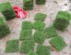 南宁低价供应马尼拉草皮 大王椰等各种绿化苗木