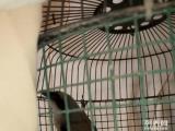 伯劳屠夫鸟一只