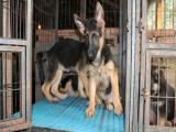 黑背幼犬多少錢 哪里能買到黑背