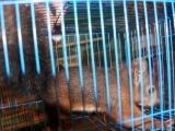 出售魔王松鼠,幼崽,好养温顺的