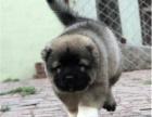 世界犬协授权犬舍,出售带血统高加索,高加索精品幼犬