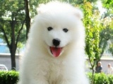 纯种澳版可爱萨摩耶雪白天使幼犬CKU纯种血统价格优惠